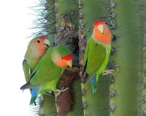 Wild Peach Faced Love Bird Arizona