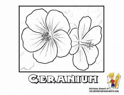 Coloring Geranium Flower Designlooter Drawings