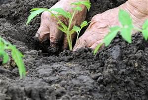 Planter Des Graines De Tomates : tomate semis culture et r colte des tomates vid o ~ Dailycaller-alerts.com Idées de Décoration