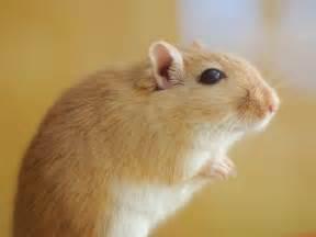 Espérance De Vie Hamster by Vid 233 O Gerbille Wamiz