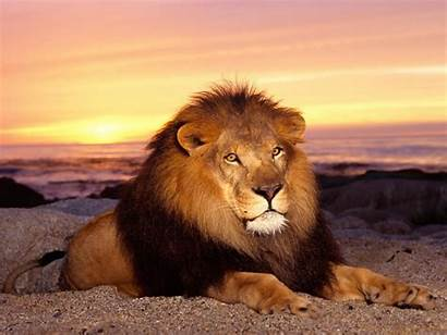 Jungle Animals King Wallpapers13 Resolution