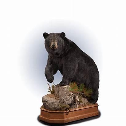 Bear Taxidermy Kanati Base Bb102 Mount Hardwood
