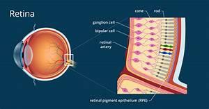 Eyes Diagram Rods Cines : retina definition and detailed illustration ~ A.2002-acura-tl-radio.info Haus und Dekorationen