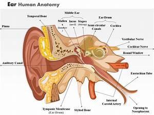 Ear Veins Diagram