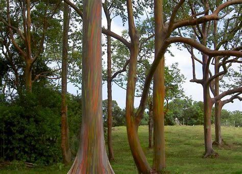 eucalyptus deglupta ufifas assessment university