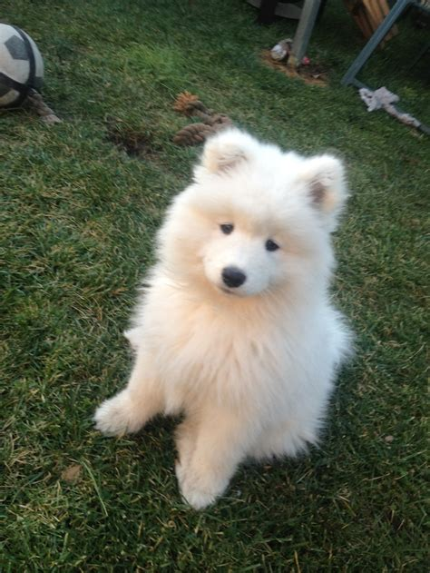 Samoyed Sooo Fricken Cute ωαу тσσ α∂σяαвℓє Dogs