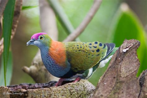 superb fruit dove birds in backyards