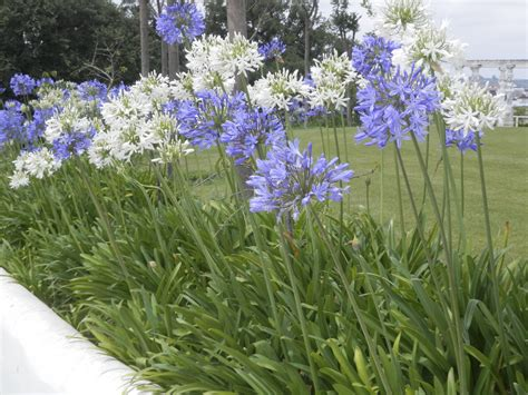 agapanthus garden winter care for agapanthus learn how to care for agapanthus in winter