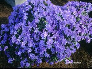 Rhododendron Blaue Mauritius : 35 best images about blue rhododendrons georgeous on ~ Lizthompson.info Haus und Dekorationen