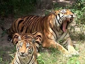 Liger + Tiger + Lion = BIG CAT RESCUE! - YouTube