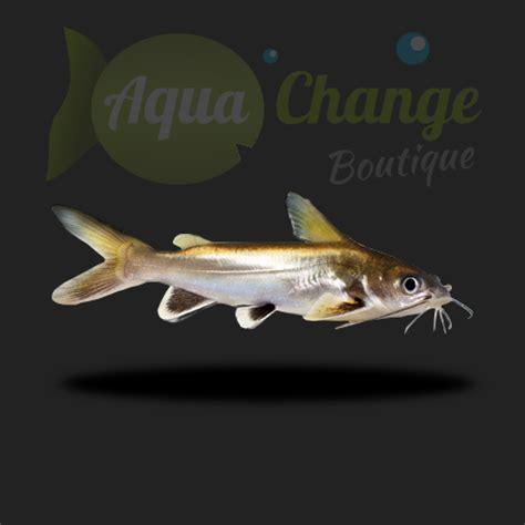poisson requin d aquarium 28 images achat en ligne d ariopsis seemanni poisson chat requin