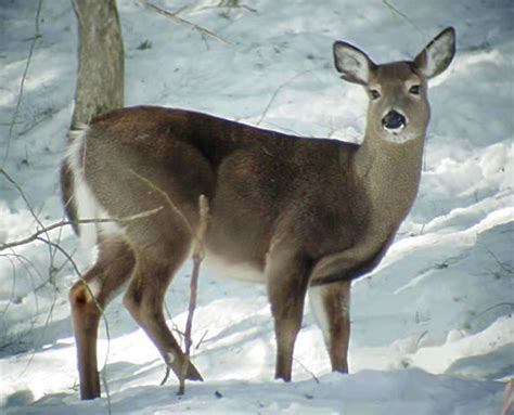 Michigan State Game Animal  Whitetailed Deer. Liability Insurance Companies For Small Business. Non Caustic Drain Cleaner Juicers Vs Vitamix. Sun Valley Assisted Living Cda For Childcare. Discount Security Cameras Net. Special Education Schools In Maryland. World Of Warcraft Private Server. Pregnancy Massage Courses Dentist In Temecula. Artificial Protein Synthesis