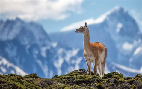 Most Beautiful Wallpapers Of Animals - lama animal the most beautiful hd wallpapers hd