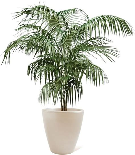 butterfly potted palm v