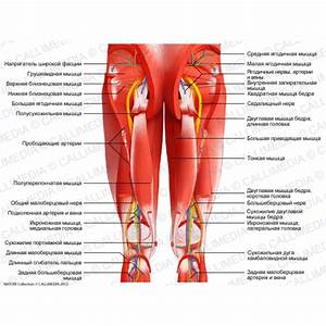 Hip, Thigh, Knee - Posterior view - Deep muscles, blood ...