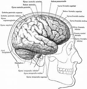 Brain In Relation To Skull And Face