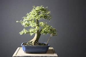 Bonsai Kaufen Berlin : ligustrum sinensis variegata 3258 koi gr npflanzen bonsai kgb in ludwigsfelde bei berlin ~ Orissabook.com Haus und Dekorationen