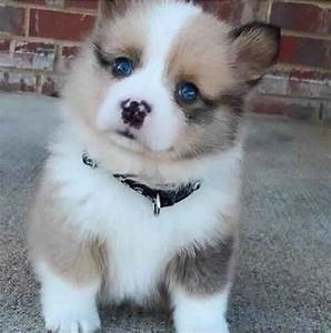 Pomsky Puppies | Cute Puppy Pictures