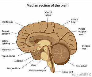 What Is The Corpus Callosum   With Pictures