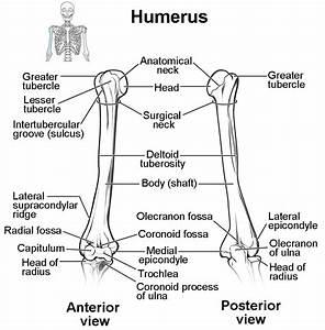 Blank Radius And Ulna Diagram