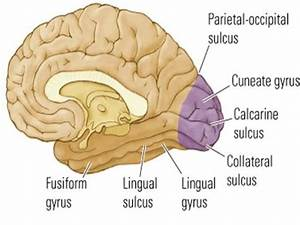 Occipital Lobe Ppt