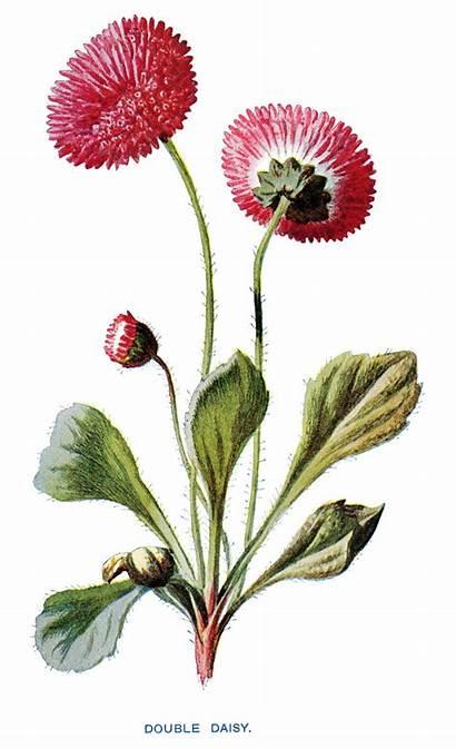 Flower Clipart Clip Illustration Daisy Flowers Botanical