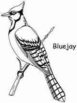 Bird Coloring Jay Drawing Pages Birds Bluejay Clipart Backyard Drawings Gray Patterns Colouring Template Quilling Toronto Getdrawings Printable Religious Icon sketch template