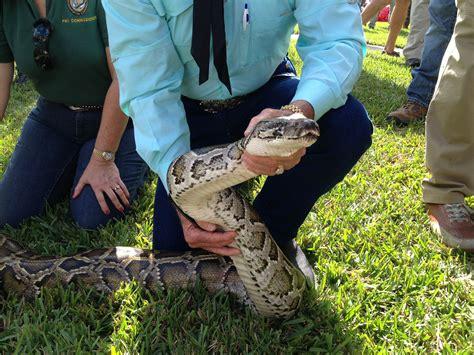 hundreds join hunt  pythons wreaking havock