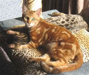 bengal cat help - Page 4 - Reptile Forums