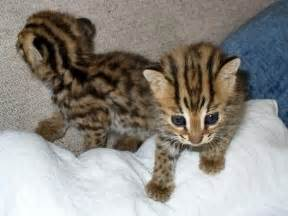 leopard cat leopard cat animal wildlife