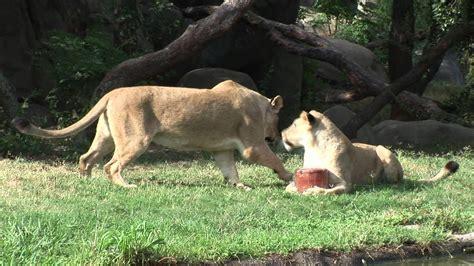 lions battle   giant popsicle   houston zoo youtube
