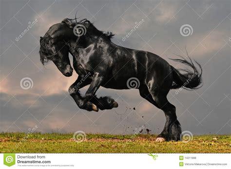 black friesian horse stock photo image   field