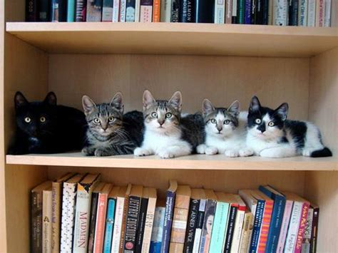 Top 10 Images Of Cats On Bookshelves