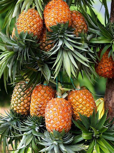 buah nanas epphione