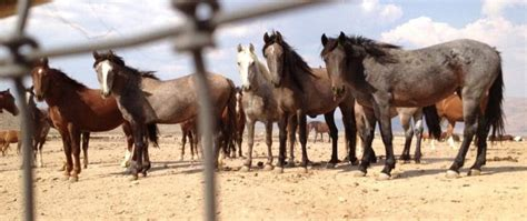 wild herds horses horse bad palomino valley nevada diminishing fires reason mares blm ihearthorses environment effects center does sun why