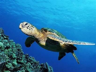 Turtle Sea Wallpapers Desktop Laptop Pc Turtles