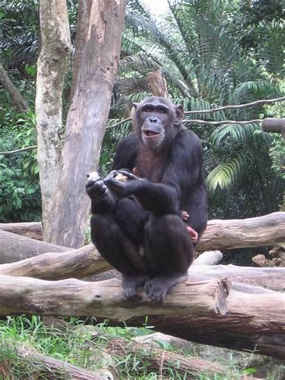 Funny Chimp Face Animals Humor