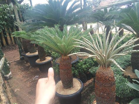 pohon sikas murah jual pohon palem sikas jual tanaman