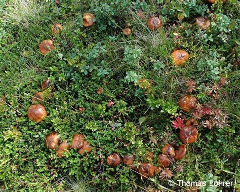 Im Rasen Kreisförmig by Hexenringe Auf Arbofux Diagnose Datenbank F 252 R Geh 246 Lze