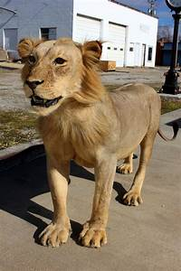 Genuine male African Lion full body taxidermy mount ...