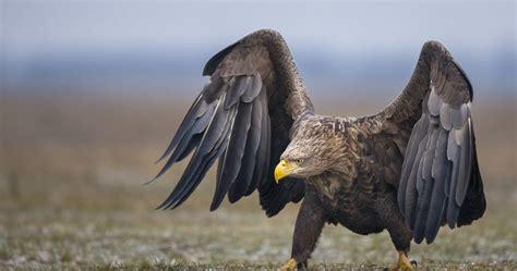 white tailed eagle  ultra hd wallpaper ololoshenka