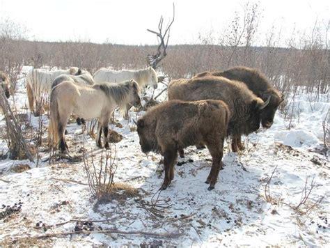 megafauna pleistocene bison horses polar