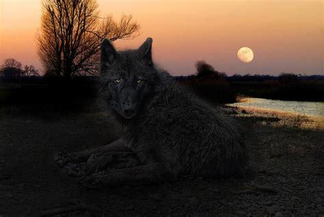 Alpha Wolf Wolf Wallpaper by Black Wolf Wallpaper Wallpapersafari