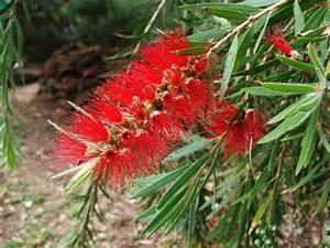 Mediterrane Bäume Winterhart : zylinderputzer ist er winterhart ~ Frokenaadalensverden.com Haus und Dekorationen