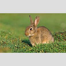 Did Rabbits Kill The Neanderthals? Researchers Believe