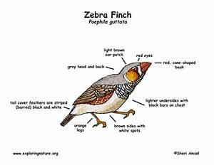 Finch  Zebra