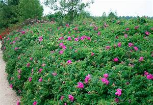 Rose In Kartoffel Anpflanzen : geh lz kartoffel rose 10 pfl online kaufen otto ~ Lizthompson.info Haus und Dekorationen