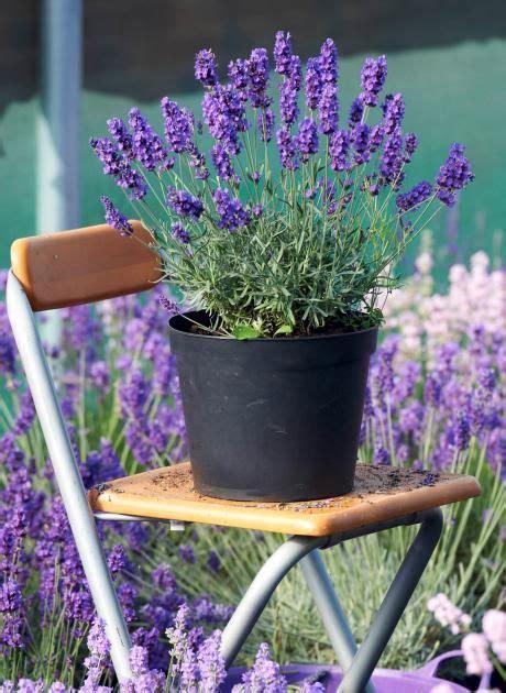 Winterharte Balkonpflanzen Mittagsblumen (delosperma