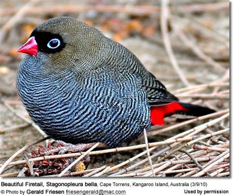 listing of finch species beauty of birds