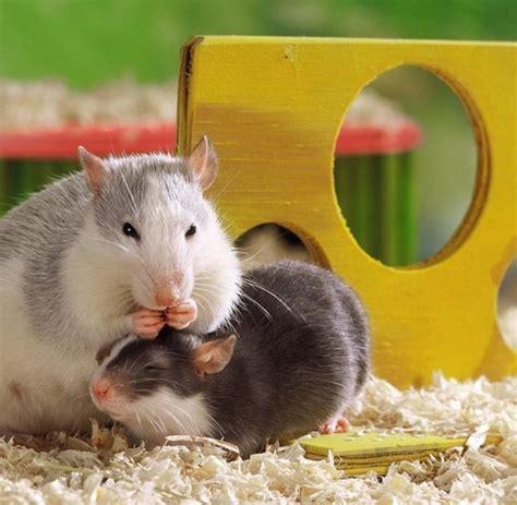 was fressen ratten am liebsten tiere rattenbabys mit rabenm 252 ttern sind cleverer welt